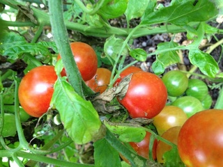 tomatof.jpg